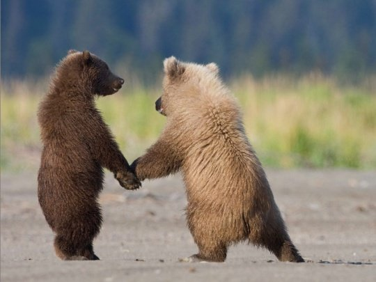 Grizzly-Bear-Cubs
